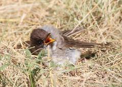_53F6399 Eastern Phoebe (~ Michaela Sagatova ~) Tags: easternphoebe sunbathing flycatcher birdphotography canonphotography sunbathingbird michaelasagatova