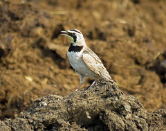 IMG_3078 (lbj.birds) Tags: bird nature wildlife kansas flinthills lark hornedlark