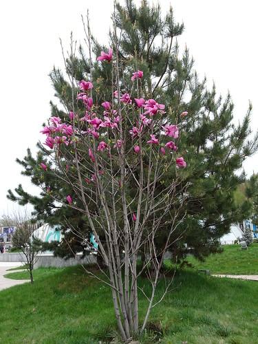 Magnolia in Almaty (AP4P0268)