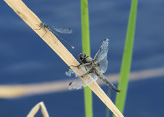 Four Spotted Chaser and Emerald Damselfly (bcmp49) Tags: damselfly dragonfly emerald fourspottedchaser odonta northcave yorkshirewildlifetrust yorkshire