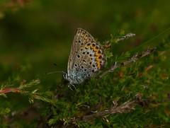 Silver-studded blue   -   Plebejus argus (Stein Rui , Manum) Tags: plebejusargus