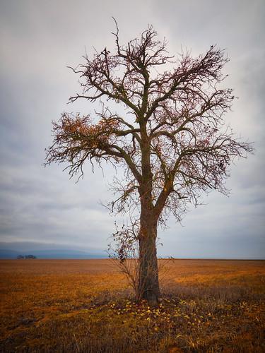 Der einsame Birnbaum
