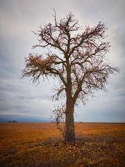 Der einsame Birnbaum (Kai-R) Tags: natur natuer baum landschaft feld rheinhessen herbst