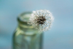 Dandelion Dreams (Captured Heart) Tags: dandelionseeds dandelion wish wishes makeawish potential softness