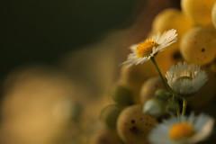 Pro loco. (SimonaPolp) Tags: sunset summer august canon cassaga flower daisy macro nature grapes field sun light bokeh vineyard