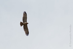 Short-toed Snake Eagle (Circaetos gallicus)