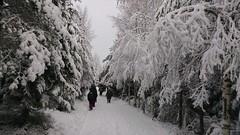 Snötunga grenar.