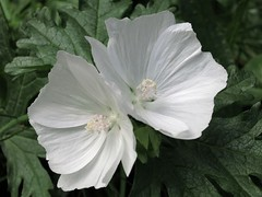 IMG_2990 (2) white wildflower (jgagnon63@yahoo.com) Tags: keweenawpeninsula keweenawcounty coppercountry copperharbor upperpeninsula uppermichigan michigan flower whiteflower keweenawmountainlodge