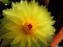 Notocactus Ottonis (Paolo Bonassin) Tags: notocactusottonis cactaceae succulente cactacee cactus flowers