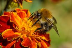 Farmland Bumblebee (dietmar-schwanitz) Tags: ackerhummel farmlandbumblebee hummel bumblebee insekten insects tiere animals tagetes studentenblume marigold makro macro bokeh natur nature farbe color colour nikond750 nikonafsmicronikkor105mmf28ged lightroom dietmarschwanitz