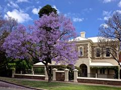 Jacaranda Drive_1158_2 (Rikx) Tags: house tree home stone blossom lavender grand adelaide jacaranda elegant southaustralia northadelaide streettrees treelinedstreets