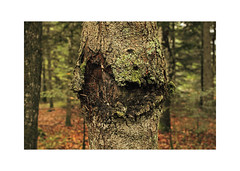 Halloween tree (Steph Blin) Tags: autumn tree fall nature forest automne woods arbre fort auvergne bois tronc