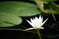 (ddsnet) Tags: travel plant flower japan waterlily sony 99  nippon   aquaticplants nihon  slt backpackers            osakafu       nymphaeatetragona     flowerinjapan singlelenstranslucent 99v