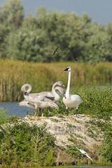 Swan Family (alan.griffin16) Tags: nature birds swan wildlife swans waterfowl trumpeterswan