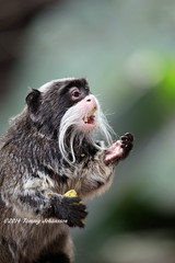 Afternoon snack time (tommyajohansson) Tags: london geotagged zoo monkey apa tiergarten londonzoo afternoonsnack tamarin singe affe faved djurpark emperortamarin zsl zoologicalsocietyoflondon tommyajohansson regentspark