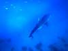 Goodbye Tuki (rigel4taleza) Tags: whaleshark butanding oslob