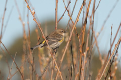 IMG_4259.jpg (ldjaffe) Tags: yellowrumpedwarbler dendroicacoronata schwanlake