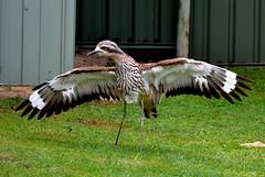 DSC_0009 (RUMTIME) Tags: bird nature birds feathers feather australia queensland curlew coochie coochiemudlo