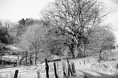 Winter 2015 01100 (landeicgn) Tags: schnee winter snow tree arbol camino path baum weg rosental hennef lanzenbach