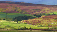 the blooming heather - yorkshire dales uk (matt.uk) Tags: uk bridge color colour beauty heart natural heather yorkshire quarry breathtaking dales grassington blooming pateley greenhow b6265