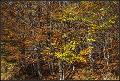 Una autntica maraa de ramas y hojas a la altura de los ojos (Fernando Fornis Gracia) Tags: espaa landscape rboles huesca paisaje otoo pirineos aragn pirineoaragons zuriza