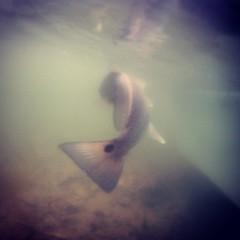 Spottail http://www.avidangling.com/ #redfish #avidanglingfishingcharters #charlestonfishingcharter #underwater (Avid Angling Fishing Charters) Tags: redfish inshorefishing charlestoninshorefishingcharter isleofpalmsfishingcharter uploaded:by=instagram wilddunesfishingcharter captmikeillig fishingchartercharleston flatsfishingchartercharlestonsc fishingchartercharlestonsc inshorefishingcharters backwaterfishingchartercharlestonsc fishingguidecharlestonsc fishingcharterscharleston captainmikeillig inshorefishingcharterscharlestonsc fishingcharterscharlestonsc bayfishingchartercharlestonsc