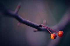 Very Berry (jrobfoto.com) Tags: macro berry focus raw sony stack fullframe facebook twitter gplus 500px a7r springbrookprairie tumblr sigmaef150mmf28macro