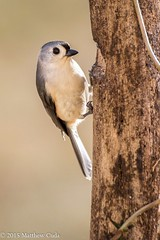Tufted Titmouse (Matt Cuda - www.mattcuda.com) Tags: tree bird pinetree birding northcarolina anchor perch titmouse hitch forage