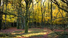 yellow over red (jaypchances) Tags: autumn light orange tree fall netherlands yellow forest bomen herfst nederland boom leafs bos veluwe gelderland bladeren planken wambuis