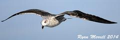 Lesser Black-backed Gull (rjm284) Tags: birds ma capecod massachusetts birding mass monomoy lesserblackbackedgull lbbg rjm284