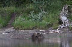 Beaver (Burminordlicht) Tags: bever biber nordtrøndelag trøndelag wildtiere säugetiere pattedyr noorwegen norway norge jämtland lierne bäver beaver schweden sverige sweden lappland lapland nordic nature wildernes villmark nationalpark nasjonalpark trondelag norvege wildnis natur norwegen wildlife tierleben animal animals scandinavia skandinavien