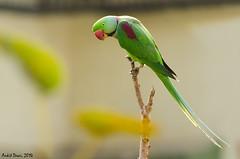 Alexandrine parakeet_Male (Ankit D) Tags: profile parakeet alexander mumbai largest alexandrine