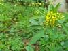 (kanouni11) Tags: flowers plant green leaves yellow branch الطبيعة أصفر أخضر أوراق أزهار غصن النبات حمضىف