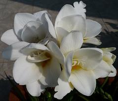 Freesie (shumpei_sano_exp6) Tags: flowers flores fleurs blumen fiori millefiori masterphotos pizzodisevo floweria