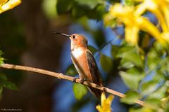 ? Allen's Hummingbird (Selasphorus sasin) (BiteYourBum.Com Photography) Tags: california usa apple hummingbird unitedstates allens canonef1740mmf4lusm allrightsreserved palosverdes ipad allenshummingbird selasphorussasin palosverdespeninsula southcoastbotanicgarden focusstacking rollinghillsestates macpro canonefs60mmf28macrousm biteyourbum palosverdeshills canoneos7d appleipad lrenfuse dawnandjim canonspeedlite430exii sigma50500mmf4563dgoshsm loweproprorunner350aw lightroom5 biteyourbumcom camranger copyright©2014biteyourbumcom