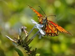 Gulf Fritillary (Jose Matutina) Tags: california county orange flower butterfly insect wings gulf fritillary