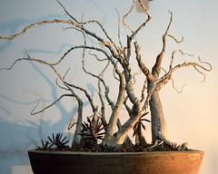 Sendero de Hermanos 2015 (victor.cristobal) Tags: bosque bonsai ipomoea penjing cazahuates murucoides