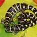 Ringed Salamander, Female and Male Pair
