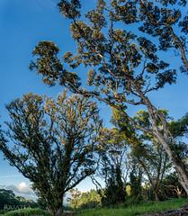 'hi'a Trees (Raiatea Arcuri) Tags: sunset hawaii afternoon bigisland treescape lehua ohia latesun