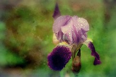 "Purple mix (mamietherese1) Tags: texture autofocus doublefantasy greatphotographers artdigital platinumheartaward world100f goldenart phvalue magicunicornverybest 200v200c2000v ""doublefantasy"" theoriginalgoldseal itsallaboutflowers netartii"
