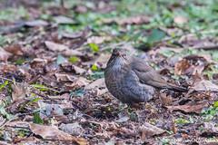 Merlo femmina (Turdus merula, Female Blackbird) (Ciminus) Tags: birds garden wildlife uccelli turdusmerula blackbird merlo naturesubjects afsnikkor80400vr