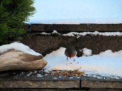 Robin ready for a feast of mealworms (Misty Jane) Tags