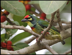 Coppersmith barbet ( ) (tareq uddin ahmed) Tags: birds ahmed bangladesh coppersmith uddin tareq barbet megalaima haemacephala thecoppersmithbarbet   crimsonbreastedbarbetorcoppersmith isabirdwithcrimsonforeheadandthroatwhichisbestknownforitsmetronomiccallthathasbeenlikenedtoacoppersmithstrikingmetalwithahammer