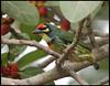 Coppersmith barbet (সেকরা বসন্ত) (tareq uddin ahmed) Tags: birds ahmed bangladesh coppersmith uddin tareq barbet megalaima haemacephala thecoppersmithbarbet বসন্ত সেকরা crimsonbreastedbarbetorcoppersmith isabirdwithcrimsonforeheadandthroatwhichisbestknownforitsmetronomiccallthathasbeenlikenedtoacoppersmithstrikingmetalwithahammer
