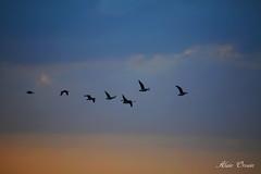 2015_01_02_1 (Photo Passion 50) Tags: photo ciel passion alain animaux paysages oiseaux photographe photopassion orvain photopassion50