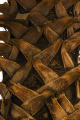 Palm Tree Trunk (haidarism (Ahmed Alhaidari)) Tags: nature beautiful wonderful palmtree trunk