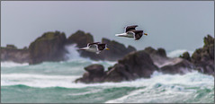 Mouettes dans la tempête - Gulls in the storm (jyleroy) Tags: ocean sea mer seagulls storm france canon landscape eos rebel brittany europe bretagne breizh stormyweather tempête finistère atlantique océan mouettes porspoder 700d ragingsea t5i