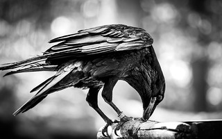 Majestic Crow Eating - National Park Bavaria Germany