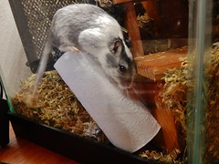 DSCN1016 (therovingeye) Tags: pets animals gerbil rodents gerbilhabitat