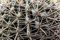 Ferocactus cylindraceus (cactaceae) (ipomar47) Tags: madrid cactus espaa naturaleza plant planta nature garden real botanical spain flora pentax royal jardin botanico cactaceae botany botanica cacto ferocactus cylindraceus k3ii erocactus